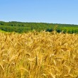 Wheat field with forest — Stock Photo