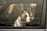 Dog in car — Stock Photo
