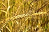 Espiga de trigo — Foto Stock