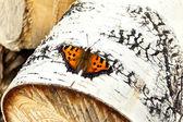 Huş ağacı üzerinde turuncu kelebek — Stok fotoğraf