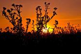 Zachód słońca na tle osty — Zdjęcie stockowe