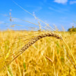 Ear of wheat against the sky — Stock Photo