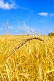 Ear of wheat against the sky — Stock Photo