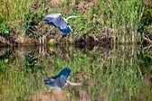 Heron over water — Stock Photo