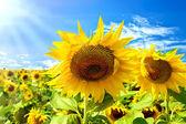 Slunečnice na pozadí modré oblohy — Stock fotografie
