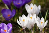 Bunch of mixed colour crocuses — Stock Photo