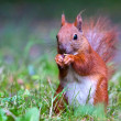 Red Eurasian squirrel — Stock fotografie