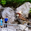 Sparrow on a Switzerland miniature - Stock Photo