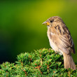 Sparrow in the Lugano park - Stock Photo