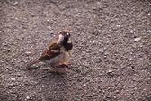Sparrow in Lugano park — Stock Photo