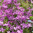 Phlox subulata, fragment of flower bed — Stock Photo