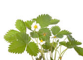 Strawberry flower and leaves — Stock Photo
