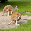 Two kangaroos - Stock Photo