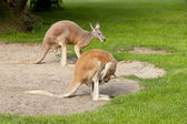 Two kangaroos — Stock Photo