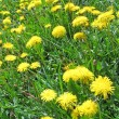 Royalty-Free Stock Photo: Yellow dandelion and green grass, nature details.
