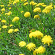 Yellow dandelion and green grass, nature details. — Stock Photo
