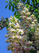Chestnut tree on blue sky, spring details. — Foto Stock