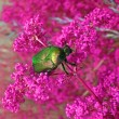 Meadow, summer, green dung beetle on violet flowers, nature — Stock Photo
