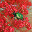 Nature, green dung-beetle on red plants, meadow summer details. — Stock Photo