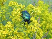 黄色の植物、牧草地夏の詳細は、自然の緑のフンコロガシ. — ストック写真