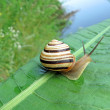 Gastropoda mollusc (snail) on green leaf, nature details. — Stock Photo