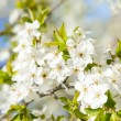 Bloom tree — Stock Photo #5464125