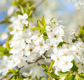 Bloom tree — Stockfoto