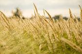 Cane grass. — Stock Photo