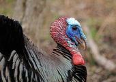 Wild Turkey (Meleagris gallopavo) — Stockfoto