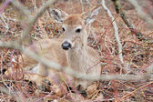 Whitetail Deer Yearling — Stock Photo