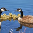 Canada Goose Goslings — Stock Photo