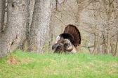 Wild Turkey (Meleagris gallopavo) — Stock Photo