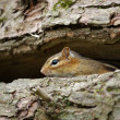 Chipmunk — Stock Photo