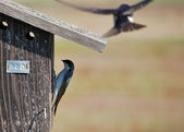 Tree Swallow — Stock Photo