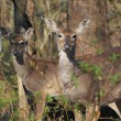 Stock Photo: Whitetail Deer Doe And Yearling