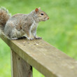 Gray Squirrel — Stockfoto