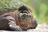 Snapping Turtle. — Stock Photo