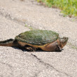 Stock Photo: Snapping Turtle.
