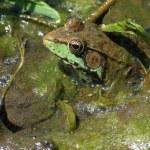 Bullfrog — Stock Photo #5789830