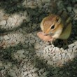 Chipmunk — Photo