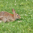 Cottontail Rabbit — Stock Photo #5863038