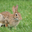 Cottontail Rabbit — Stock Photo #5863039