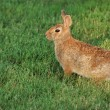 Cottontail Rabbit — Stock Photo #6001201