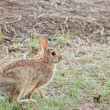 Cottontail Rabbit — Stock Photo #6008648