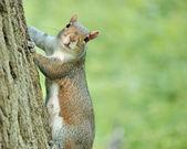 Gray Squirrel — Stock Photo