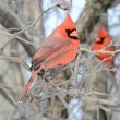 Cardinal On A Branch — Stock Photo