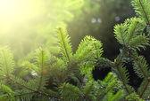 Smrkové větvičky — Stock fotografie