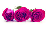 Purple roses — Foto Stock