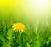 Dandelion in green grass — Stock fotografie