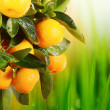 Orange tree — Stock Photo #6193114